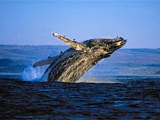 Фестиваль китов, ЮАР